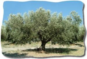 Bild: Olivträd